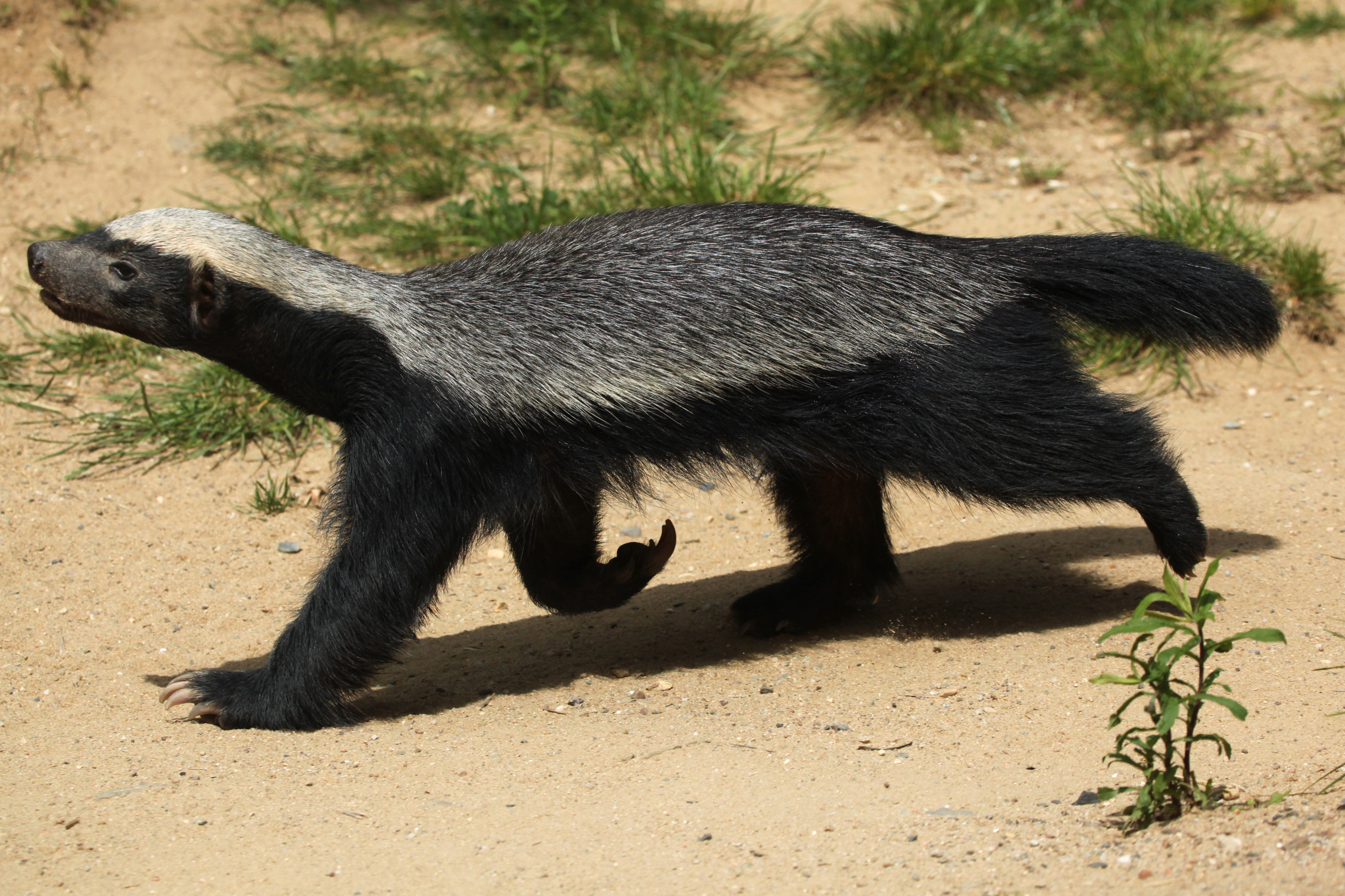 The Honey Badger – The Remarkable Yet Unknown Species of ...