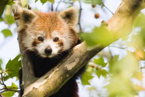 4416473_xl Red Panda colette2