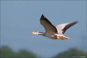bar-headed-goose-sandeep-somasekharan