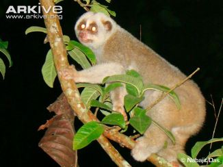 bengal-slow-loris-adult