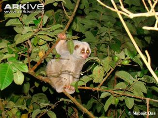 bengal-slow-loris-sitting-on-branch