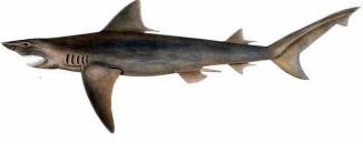 ganges-shark